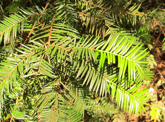 RedwoodNadeln_9228