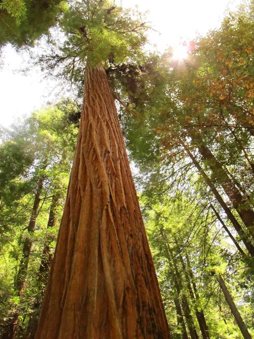 redwood_9242